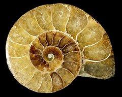 goniatite-fossil-pasieka