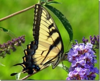 best swallowtail pic