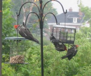 pileated 5