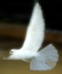 Dove photo by Merlune