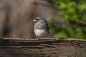 Junco, photo by Kathy Adams Clark