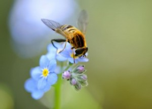 Forget-Me-Not, photograph by Flowers HD.com