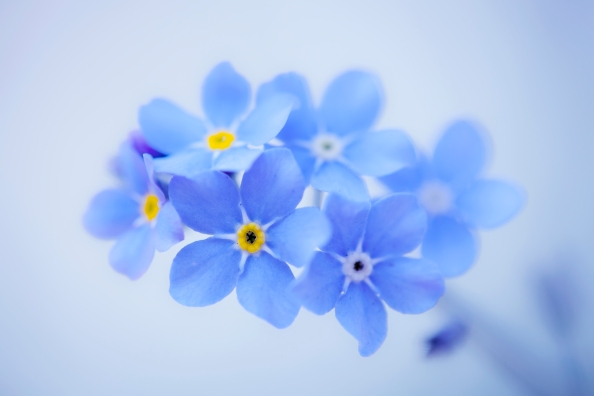 Forget-Me-Not by SarahharaS1 (c)2013