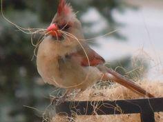 cardinal nesting