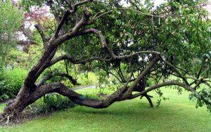 plum-tree-picture