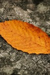 Autumn-leaf-on-a-rock-960x640