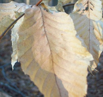 Beech Leaves by Walter Reeve
