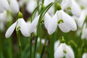 snow-drops-public-domain-picture