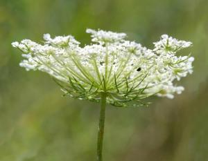 queen_annes_lace_side_01-07-14