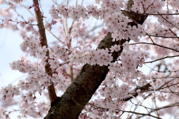 Sakura flower or cherry blossoms in Japan.