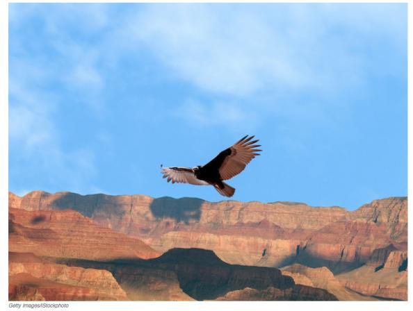 California Condor at the Grand Canyon